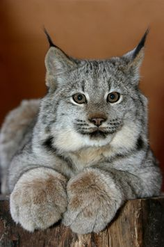 Lynx Kitten Portrait (byAlaskaFreezeFrame)