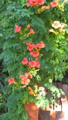 trumpet vine orange; Halls Honeysuckle; Grapes - semi-private wall in backyard (How would these do in MT?)