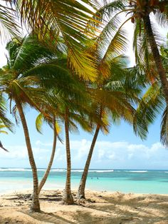 Guadeloupe is the first place I want to go to 😍 it's the most beautiful Caribbean island ! Tahiti, Caribbean Netherlands, Destin Beach, West Indies, Tropical Paradise, Beautiful Beaches, Vacation Spots, Beautiful World, Palm Trees
