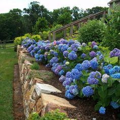 5 month blooming hedge plant endless summer hydrangea. Black Bedroom Furniture Sets. Home Design Ideas