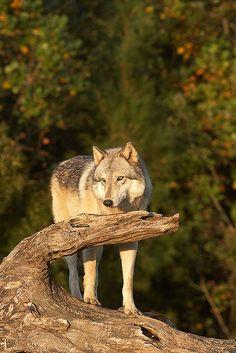 Seacrest Wolf Preserve Series: Legend