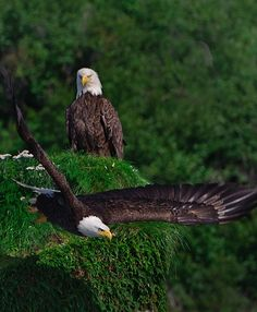 Took a break from photographing Alaska Coastal Brown Bear. Spotted this pair of Bald Eagles who had made a nest at the top of a large spire. The Eagles, Wings Like Eagles, Bald Eagles, Eagle Pictures, Animal Pictures, Eagle Images, All Birds, Birds Of Prey, Beautiful Birds