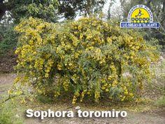 Sephora Toromiro