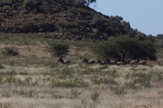 A small herd of zebra on the run. These are very wary animals and one of the hardest to hunt IMO.