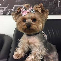 The Popular Pet and Lap Dog: Yorkshire Terrier - Champion Dogs Yorkie Terrier, Yorkie Puppy, Bull Terriers, Cute Puppies, Cute Dogs, Dogs And Puppies, Corgi Puppies, Yorkshire Terriers, Yorkies