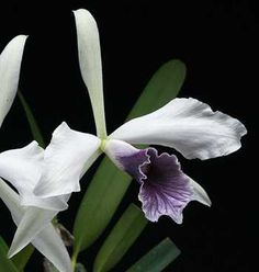 "A blue orchid flower from Brazil, ""Laelia"" purpurata, ""the witch's ..."