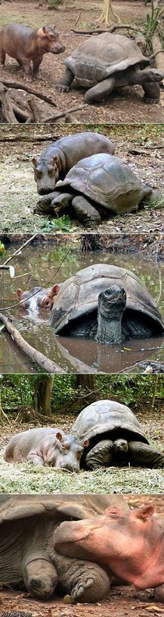 A baby hippo was swept away by a tsunami and rescued by a wild life reservation. A 130 year old tortoise immediately befriended him.