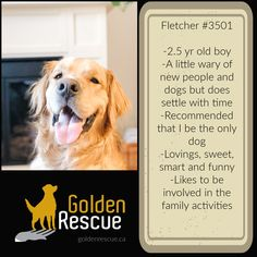 AVAILABLE FOR ADOPTION ~ FLETCHER #3501 To read more about Fletcher's story, please visit his page on our website by clicking on the link. If you would like more information about Fletcher please call our hot-line toll free at 1-866-712-8444 or email adoption@goldenrescue.ca and one of our volunteers will be happy to return your call. Golden Family, Old Boys, Family Activities, The Help, Volunteers, Reading, Funny, Adoption, Website