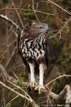 Wilpattu National Park, Sri Lanka (www.secretlanka.com) #SriLanka #Wilpattu #BirdsOfPrey