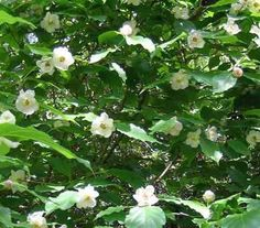 Calycanthus Chinensis Seeds Chinese Sweetshrub Fragrant
