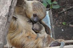 Mumma sloth and baby Photo by Natalie C. -- National Geographic Your Shot