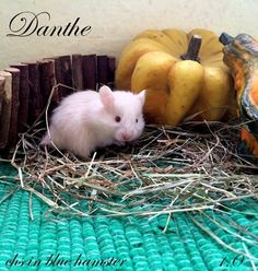 Danthe chs in blue hamster Blue, Animals, Animales, Animaux, Animal Memes, Animal, Animais, Dieren