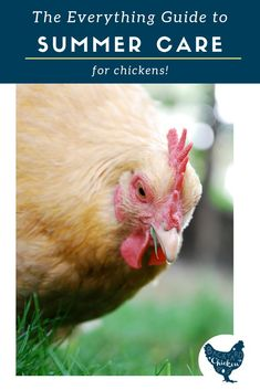 There are a few things you need to know about summer chicken care for your flock to keep them healthy and clucking happily. Raising Meat Chickens, Raising Backyard Chickens, Keeping Chickens, Pet Chickens, Backyard Poultry, Chicken Feed, Chicken Eggs, Chicken Coops, Broiler Chicken