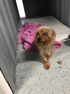 Stanley is an adoptable Yorkshire Terrier Yorkie searching for a forever family near Homer, NY. Use Petfinder to find adoptable pets in your area.