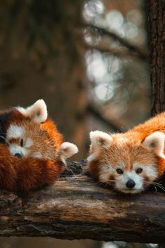 PIN IT if you think this is cute! Two Too Cute Red Pandas
