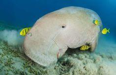 Le dugong Décrit pour la première fois en 1765 Ce tout petit mammifère marin qui peut atteindre 10p de longueur et environ 1100 lbs peut vivre jusqu'à 70 ans, nageant paisiblement dans les océans Indien, Pacifique et la mer Rouge. Il partage des liens avec le lamantin et… l'éléphant. Il a longtemps été chassé pour son huile, sa viande, sa peau et ses os,   Il broute le fond des mers pour se nourrir. C'est  le seul mammifère marin strictement herbivore.