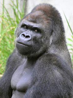 Shabani. Good-looking gorilla has crowds going gaga at Higashiyama Zoo