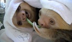 baby sloths I love these creatures