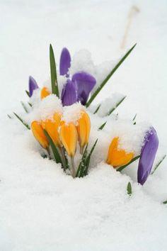 schöne Frühlingsblumen Krokus im Schnee