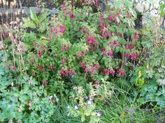 Fuchsia magellanica 'Ricartonii'