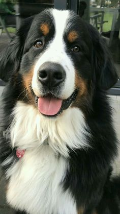 Excellent Free bernese mountain dogs big Thoughts For more than decades, your Bernese Huge batch Doggy is a basis of village life around Switzerland. Cute Baby Dogs, Cute Dogs And Puppies, Big Dogs, I Love Dogs, Doggies, Baby Animals, Funny Animals, Cute Animals, Beautiful Dogs