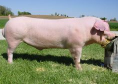 LANDRACE breed  ~  Cedar Ridge Swine Seedstock Pig Breeds, Mini Cows, Down On The Farm, Farm Yard, Study Materials, Livestock, World War Two, Farm Life, Pigs