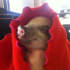 A pig in a blanket. <3