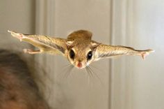 FLYING SQUIRREL :D I used to have one, named Ginger. She was awesome and would jump from my curtains to me like this!