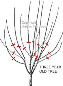 Prune plum tree