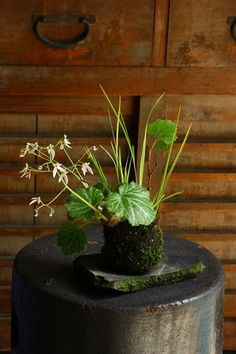 Japanese style moss ball bonsai.