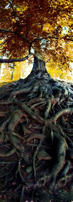 Impressing Very Old Tree from the Czech Forest | Check Out The Most Majestically Trees In The World! #PadreMedium