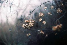 White berries, grey day