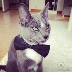 """From @mikgl937: """"This is the oh so sophisticated Sixten from Uppsala, Sweden. Shaken, not stirred."""" #catsofinstagram [catsofinstagram.com]"""