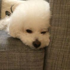 今日もたくさん歩いたから眠たい #ビションフリーゼ #bichonfrise #犬 #dog #テレビの声大きめ派です #寝顔 #今日のmomo