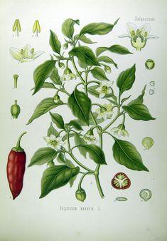 Malagueta Pepper, from book: Köhler's Medizinal-Pflanzen in naturgetreuen Abbildungen mit kurz erläuterndem Texte. (1887)