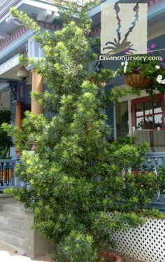 japanese yew shrub photos | ... , WA- Conifers, Shrubs and ...