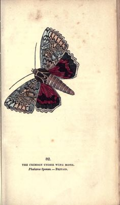 Crimson Under Wing Moth (Phalaena sponsa). The book of butterflies, sphinxes and moths v.2 London,Whittaker,1832-34. Biodiversitylibrary. Biodivlibrary. BHL. Biodiversity Heritage Library
