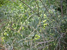 Oliveres - Olive trees - Olivos   @ Camps Aladesa - Sant Feliu de Llobregat