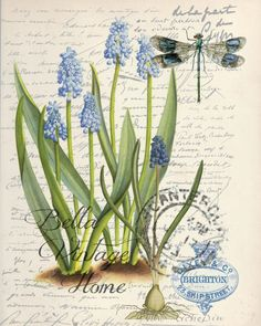 Botanical Grape Hyacinth Print