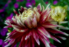 Dahlia Flower by Nate A, via 500px