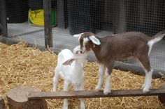 Folly Farm's cute and cuddly baby goats! Folly Farm, Baby Goats, Farm Yard, Farm Animals, Cuddling, Barn, Pets, Physical Intimacy, Converted Barn