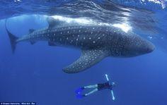 hiu paus raksasa di pantai Cancun