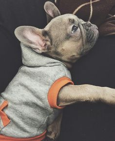 'Just Chillin', Mr. Opie, the French Bulldog Puppy, @mr opie the frenchie on instagram
