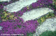 Thymus serpyllum – Creeping Thyme, Mother of Thyme – plants in flower Thymus Serpyllum, Thyme Plant, Yoga Garden, Creeping Thyme, Always Thinking Of You, Beautiful Homes, Backyard, Landscape, Garden Ideas