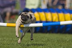 Pugs...world class athletes...some of them :P