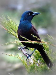 Common Grackle, found in open habitats, meadows and marshes all over North America
