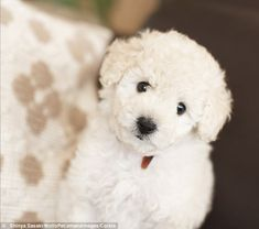 Cute: A white toy poodle puppy stares lovingly at the camera - toy poodles typically cost upwards of $1,000