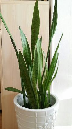 Shake Plant