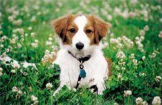 Kooikerhondje puppy.