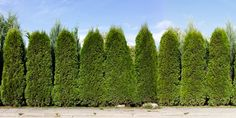 The Top 10 Trees for Backyard Privacy Green Giant Thuja Arborvitae Lined Up in a Row as Privacy Fence Trees